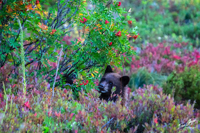 Image of black bear cub