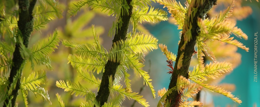 korzenie powietrzne u drzew,. pneumatofory