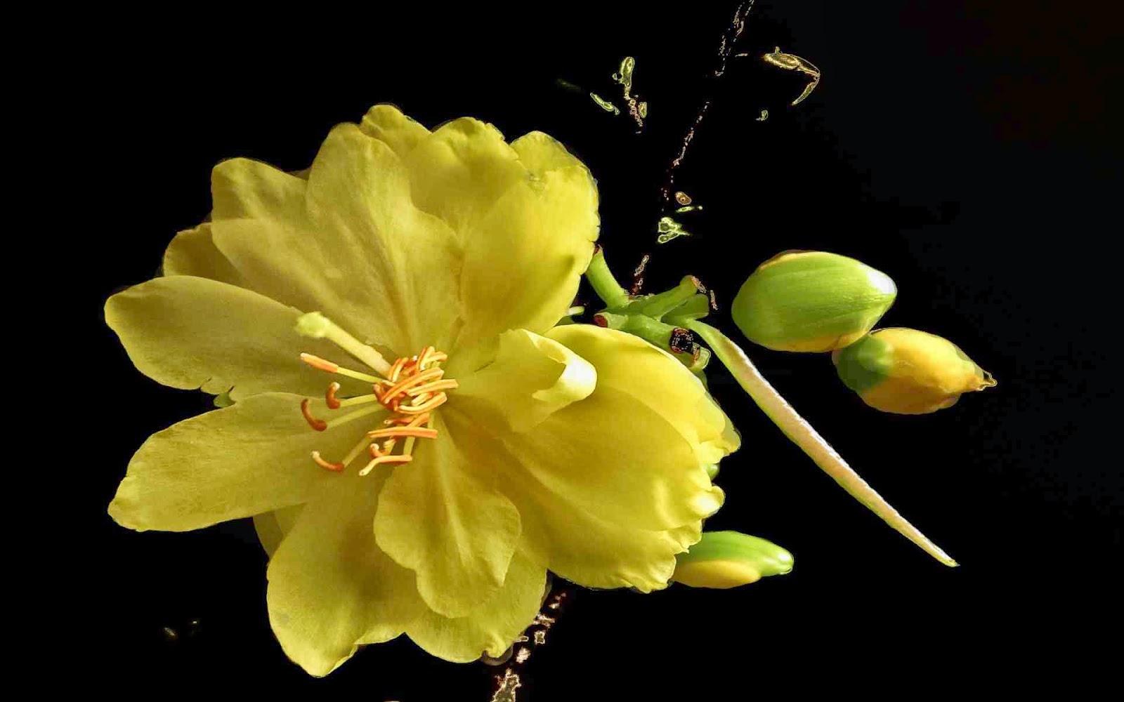 ảnh nền hoa mai