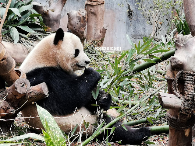 Panda in Sichuan @ Chengdu Research Base of Giant Panda Breeding 成都大熊猫繁育研究基地 🐼