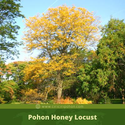 Ciri Ciri Pohon Honey Locust