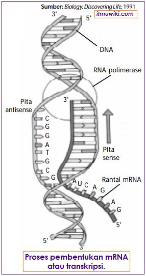 Proses transkripsi atau pembentukan mRNA pada tahapan sintesis protein
