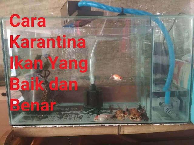 Cara Karantina Ikan Hias Yang Baik Dan Benar