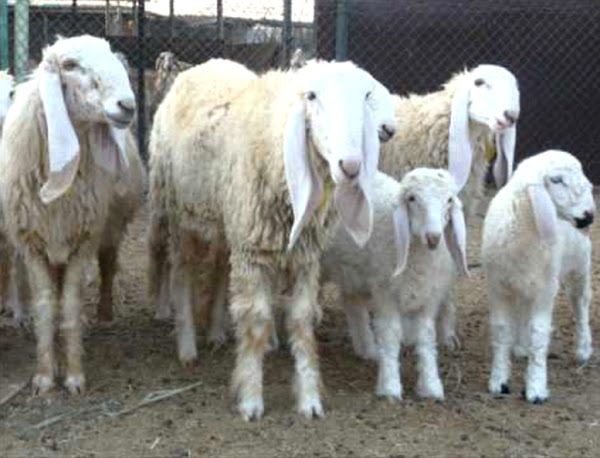 Pakistani men have sex with sheep