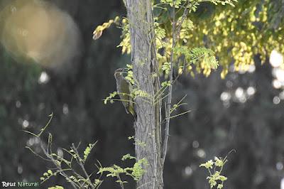 Picot verd ibèric (Picus sharpei)