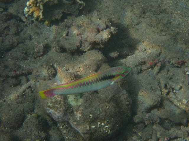 Halichoeres scapularis