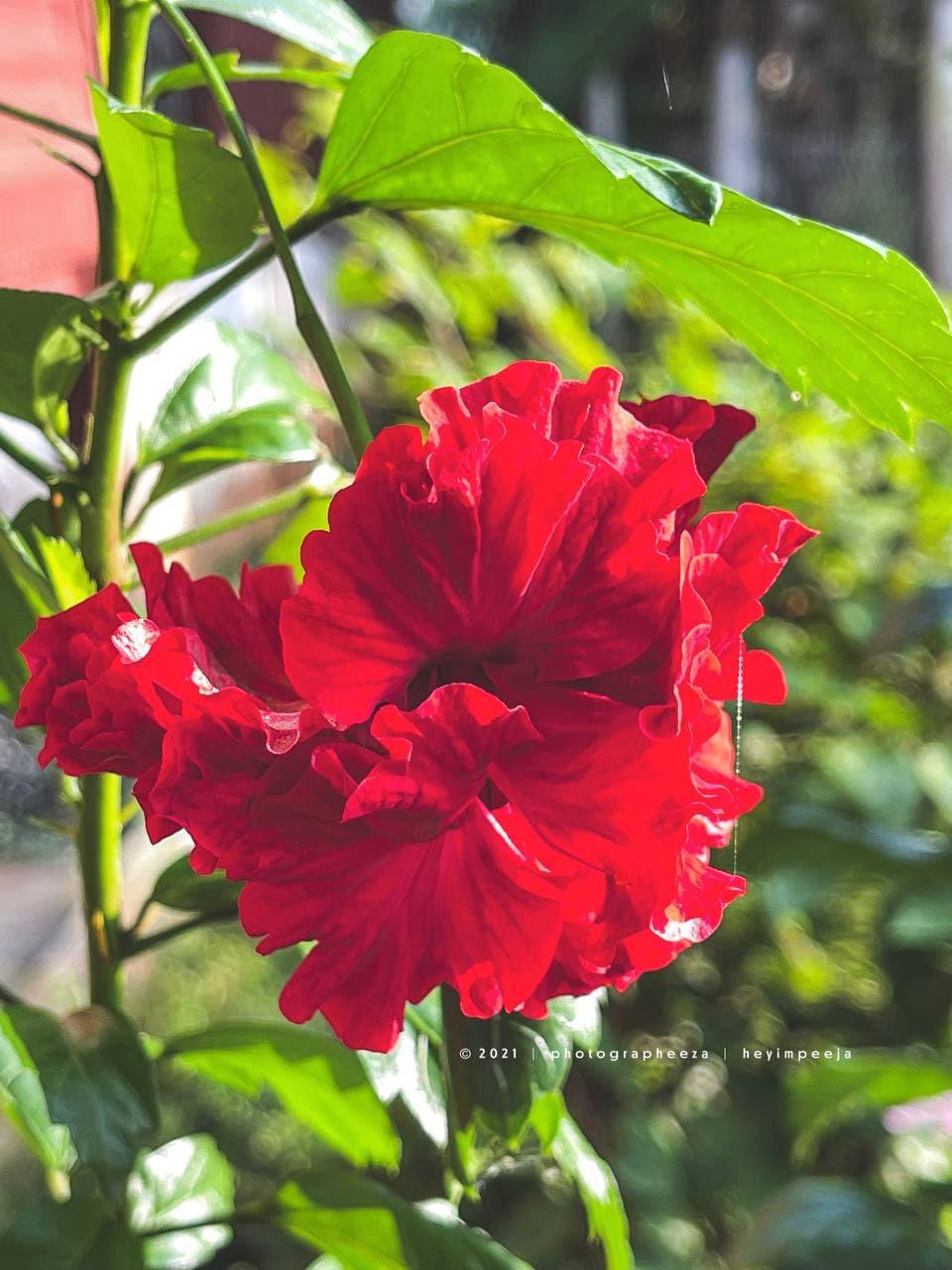 Bunga Raya Rose Merah