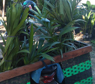 Bibit kelapa wulung yang terhindar dari penyakit dan hama itulah yang bagus. Pertumbuhannya akan optimal dan sehat