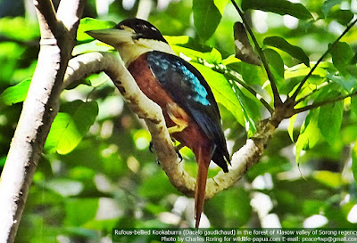 Rufous-bellied Kookaburra (Dacelo gaudichaud)