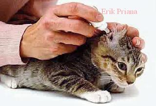 Faktor Penyebab dan Cara Mengatasi Telinga Kucing yang Cepat Kotor