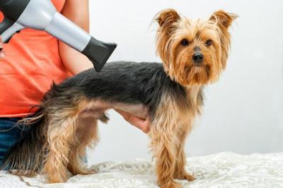 Pelo Yorkshire Terrier