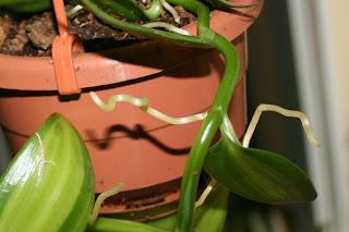 vainilla pauciflora