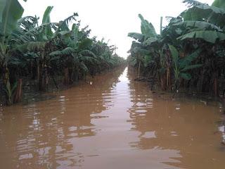R$ 15 milhões é o calculo do prejuízo na Bananicultura do Vale do Ribeira