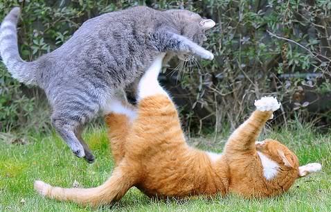 Infekcija nastaje najčešće ugrizom u borbi mačaka Panvet