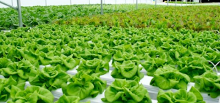 Bercocok Tanam Sayuran Hidroponik