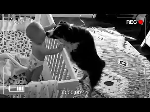 Родители не подозревали, что собака по ночам была нянькой для их ребенка