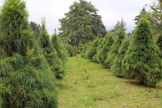 Invita empresa de Veracruz a preferir árbol navideño natural
