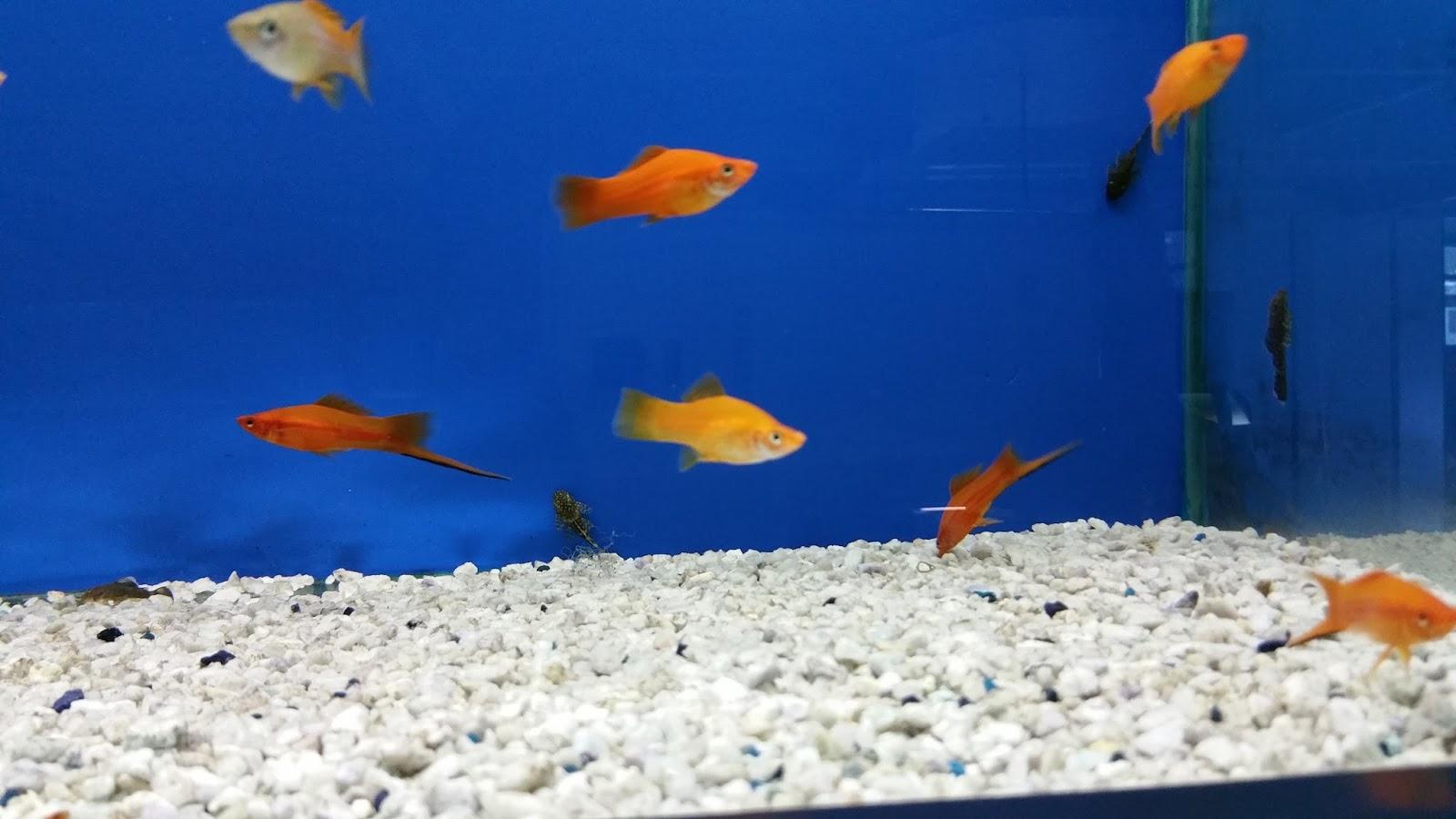 Pirana aquarium pesci tropicali d 39 acqua dolce gli for Pesci acqua dolce commestibili