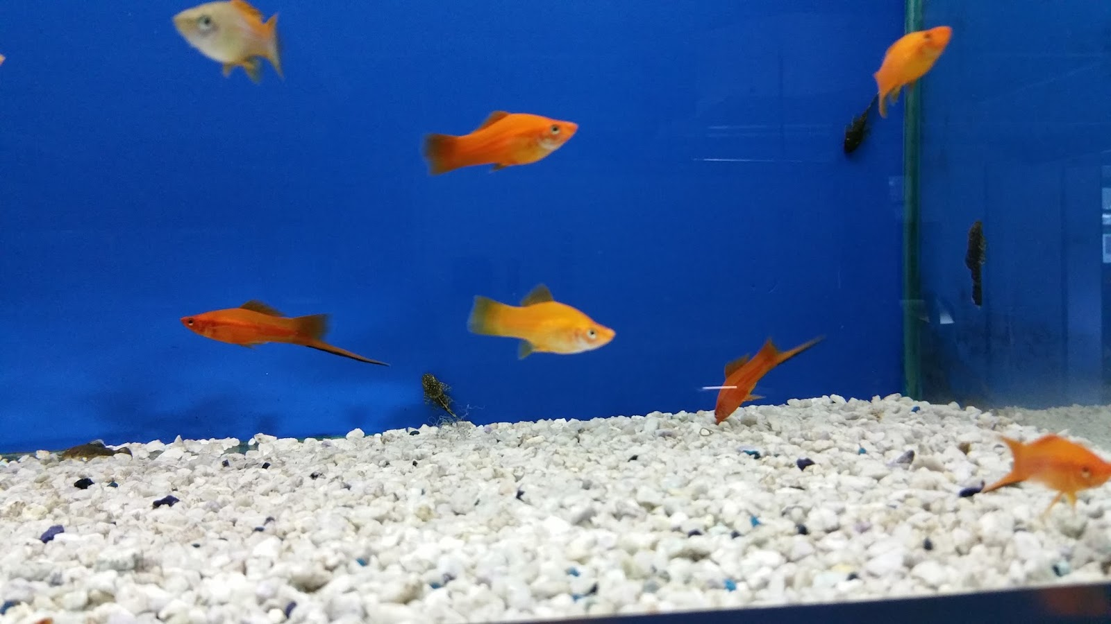 Pirana aquarium pesci tropicali d 39 acqua dolce gli for Pesci acqua dolce