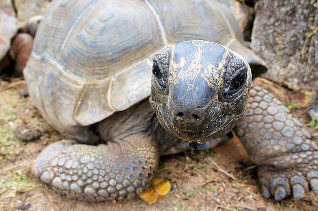 Riesenschildkröte im L'Union Estate La Digue (C) JUREBU