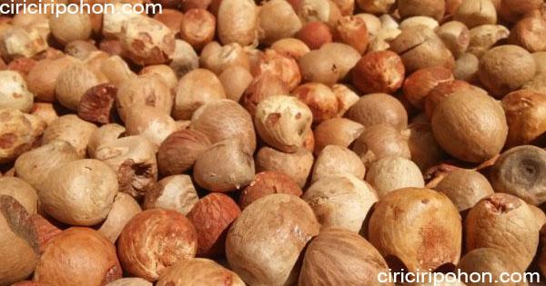 ciri ciri pohon biji pinang