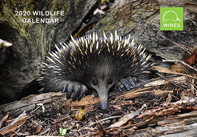 Cover of the 2020 Wildlife Calendar with a photo of an echidna