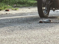 Stop Buang Bangkai Tikus di Jalan Waspadai penyakitnya
