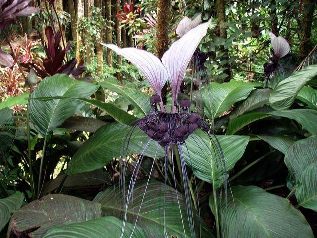 """Floresce na primavera e verão e suas inflorescências parecem pequenos morcegos. É bem mais interessante quando cultivada em vasos e jardineiras, adornando varandas, salas de estar, escritórios, etc.  Embora seja chamada de também de """"orquídea-morcego"""", esta espécie exótica não tem parentesco com as orquídeas, ela pertence a mesma do inhame ."""
