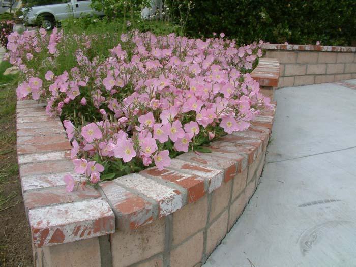 энотера розовая