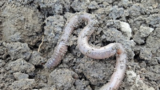 20 Interesting Earthworm Facts You Might Not Have Known