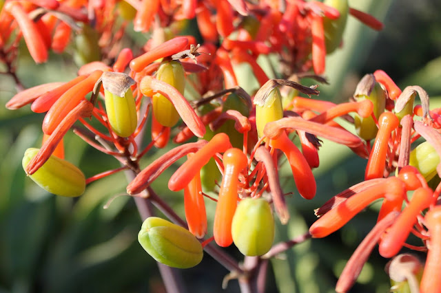 Aloe striata seed pods