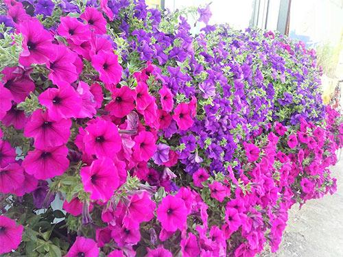 ảnh đẹp hoa dạ yến thảo 2