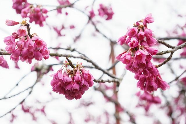 城山公園(館山城)の寒緋桜