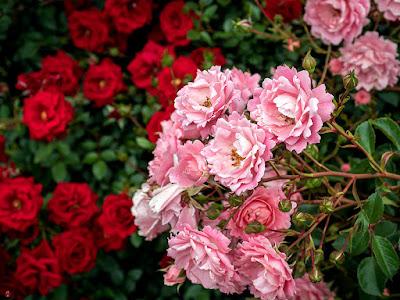 Rose flowers: Ofuna botanical garden (Kamakura)