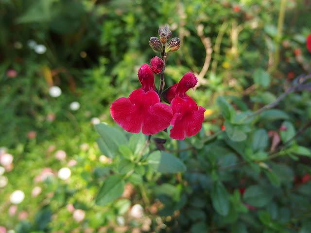 A closer look at Salvia 'Royal Bumble'