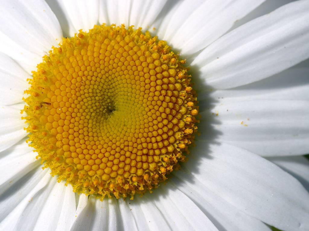 Canada Floral Delivery Blog: Fun Facts About Daisies
