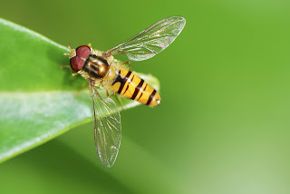 Hoverfly on a leaf.
