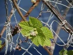 Уход за виноградом в апреле