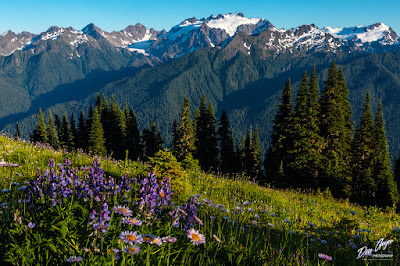 Mount Olympus above flower meadows on High Divide, Olympic National Park, Washington, USA.