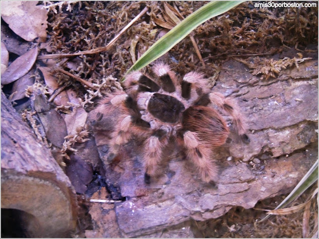 Texas Discovery Gardens:Brazilian Black and White Tarantula