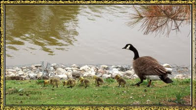Canada goose with five young goslings