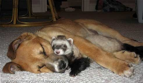 Dog and polecat.
