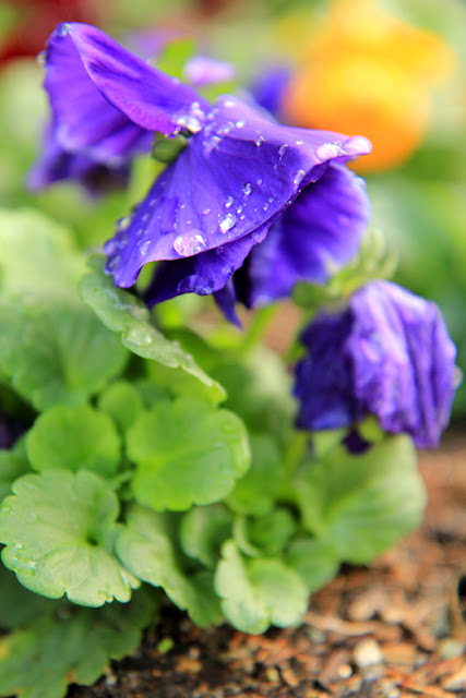 Purple Pansies in the Rain - Flower Photography by Mademoiselle Mermaid