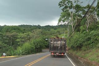 bulls in truck on Costa Rica highway