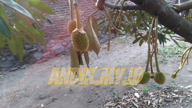gambar durian, gambar durian montong, gambar durian lucu, gambar durian musang king, gambar durian kartun, gambar durian montong super, gambar durian merah, gambar durian tabulampot, gambar durian medan, gambar durian montong dibelah, gambar durian ucok medan, gambar durian animasi, gambar durian bangkok, gambar durian duri hitam, gambar durian tembaga, gambar durian unggul, gambar durian bawor banyumas,