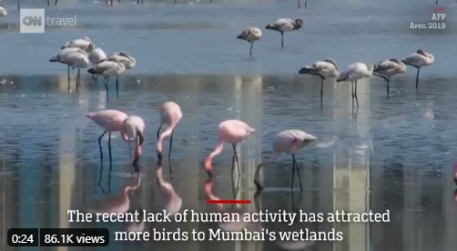 Thousands of flamingo birds migrating when India