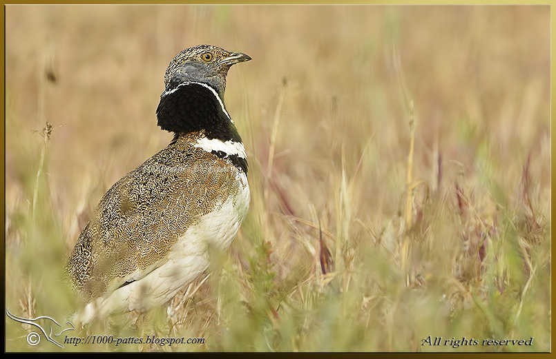 The Little Bustard