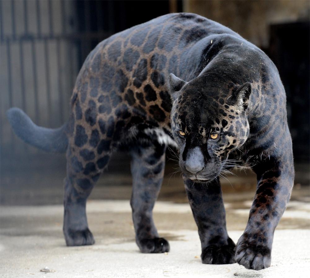 Aurora: 10 Types Of Big Cats
