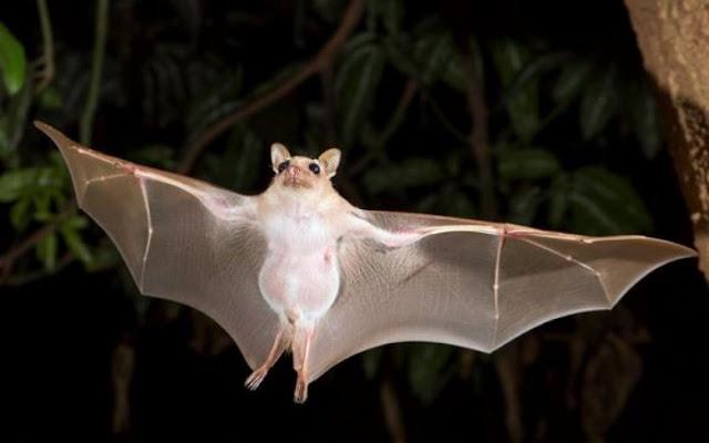 चमगादड़ के पंख में होती है ये खास चीज़, रात में इसलिए कर पाते हैं कलाबाज़ी