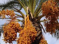 Bisnis Budidaya Pohon Kurma Ternyata Sangat Menjanjikan!